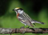 Paruline à flancs marrons/Chestnut-sided Warbler