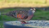 Bronze Wing Dove