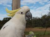 Sulpur Crested Cockatoo