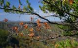 Pine needles near the canyon rim