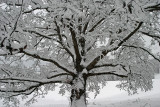 Giant Oak and snow