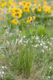 Carex pachystachya  Thick-head sedge