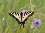 Western Tiger Swallowtail (nectoring on Brodiaea congesta)