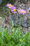 Erigeron peregrinus ssp. callianthemus v. angustifolius  (=E.p.ssp c.var.callianthemus) Subalpine fleabane