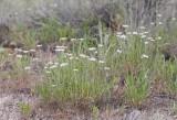 Erigeron filifolius Threadleaf fleabane