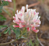Trifolium macrocephalum Large-head clover