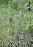 Iris missouriensis Rocky Mountain iris