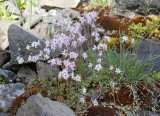 Lithophragma glabra  Rocket star