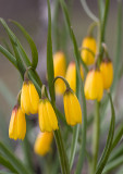 Fritillaria pudica  Yellow bells