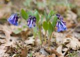 Mertensia longiflora  Small bluebells