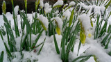 COLD JONQUILS - ISO 400