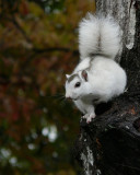 WHITE SQUIRREL - ISO 400 - HAND HELD AT 504mm