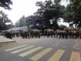 elephants crossing the street