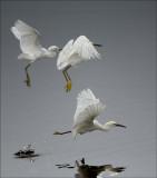 Aigrettes (Egrets)