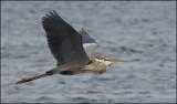 Oiseaux en vol (Birds in flight)