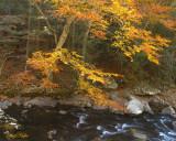 Beech Tree Along Little River