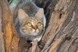 Cats of the Kgalagadi 2009