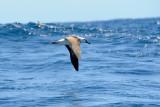 Albatross in flight 1