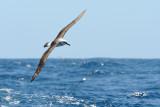 Albatross in flight 2