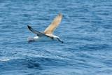 Albatross in flight 5