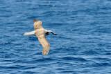 Albatross in flight 4