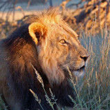 Male lion in morning sun