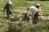 da lat, field workers