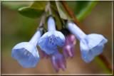 BlueBells88.JPG