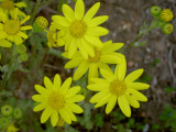 YELLOW CAMOMILLE