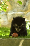 andean_bear_cubs