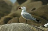 Audouin's Gull - Larus audouinii