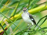 Northern  Mockingbird (Mimus polyglottos) 14
