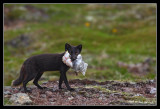Arctic fox with a fulmar for her young