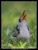 Red-billed Hornbill eating a beetle