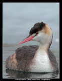 Great Crested Grebe winter plumage