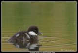 Goldeneye Duckling