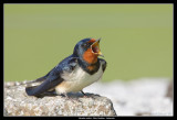 Barn Swallow, Öland