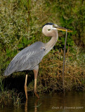 Great Blue Heron with Snake II