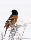 Orchard Oriole 4.10.10