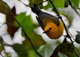 Prothonotary Warbler 4.10.2010