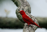 Another Summer Tanager