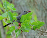Grey Catbird with Mulberries