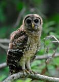 Newly Fledged Owl