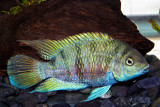 Archocentrus sp. 'Honduran Red Fin' Blue Convict