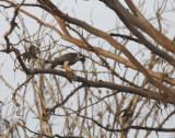 Peregrine Falcon - Falco peregrinus minor - Halcón peregrino - Falco pelegrí