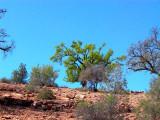 Argan tree