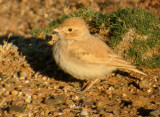 Bar-tailed Desert Lark - Ammomanes cinturus