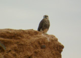 Young Lanner Falcon - Falco biarmicus erlangeri - Halcon Lanario - Falcó Llaner