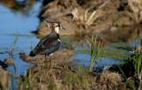 Lapwing - Vanellus venllus - Avefría - Fredeluga
