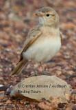 Bar-tailed Lark - Ammomanes cinturus